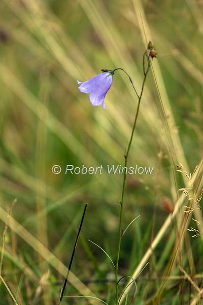 Campanula rotundifolia, harebell, Bluebell of Scotland, Scottish Highlands, Scotland; United Kingdom, Europe