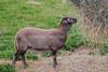 Soay Sheep, Ovis aries, Scottish Highlands, Scotland, United Kingdom, Europe