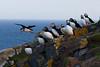 Puffins on Flannen Island