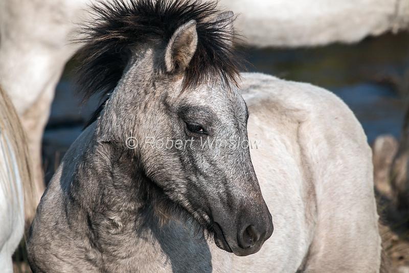 Highland Pony, Blair Atholl, Scotland, United Kingdom, Europe
