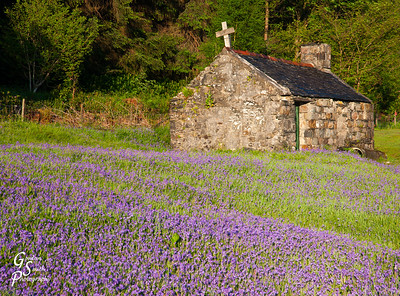 Purple Flowers of Scotland