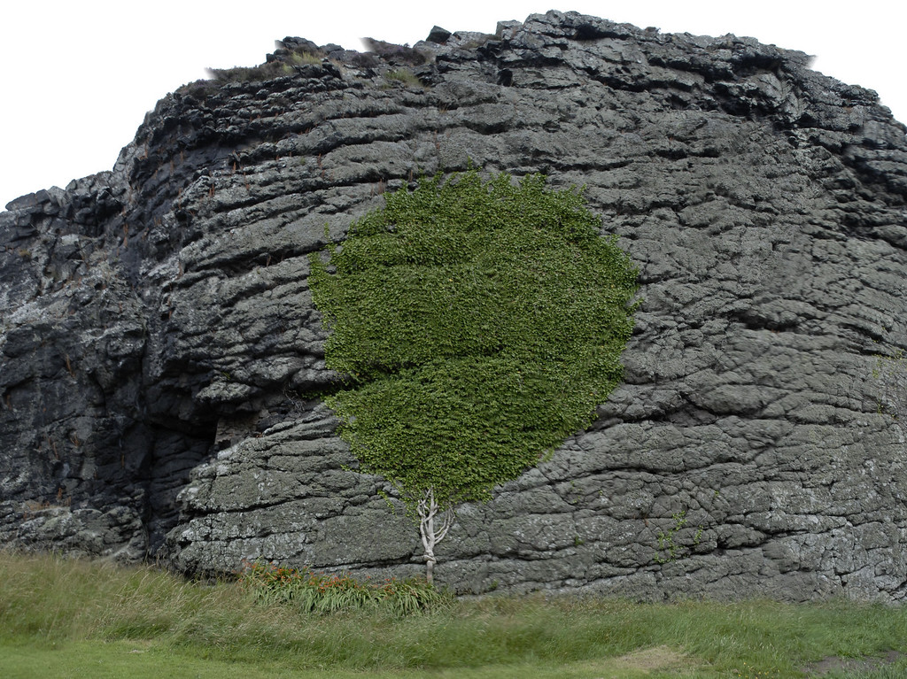 Vine on a hill, Great Cumbrae, Scotland