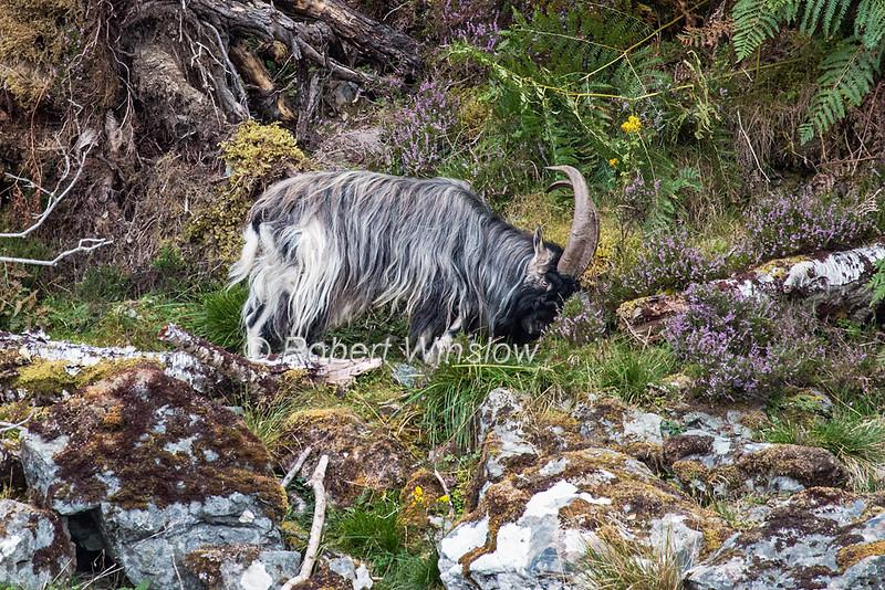 Feral Goat, Loch Ness, Scottish Highlands, Great Glen Way, Caledonian Canal, Scotland, United Kingdom, Europe