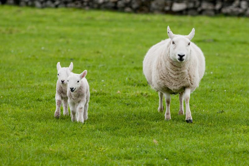 Sheep on Canna Island