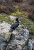 Great Cormorant, Great Black Cormorant, Phalacrocorax carbo, Loch Ness, Scottish Highlands, Great Glen Way, Caledonian Canal, Scotland, United Kingdom, Europe