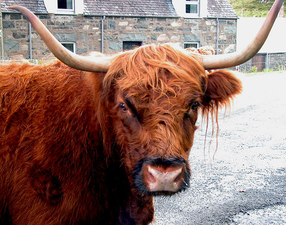 A Highland cow in the middle of the road.  Guess we know who has the right of way in this instance.
