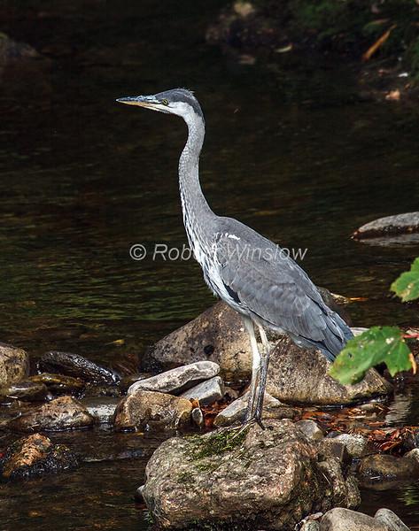Grey Heron, Ardea cinerea,  Blair Atholl, Scotland, United Kingdom, Europe