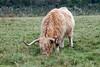 Scottish Highland Cattle, Scottish Highlands, Scotland, United Kingdom, Europe