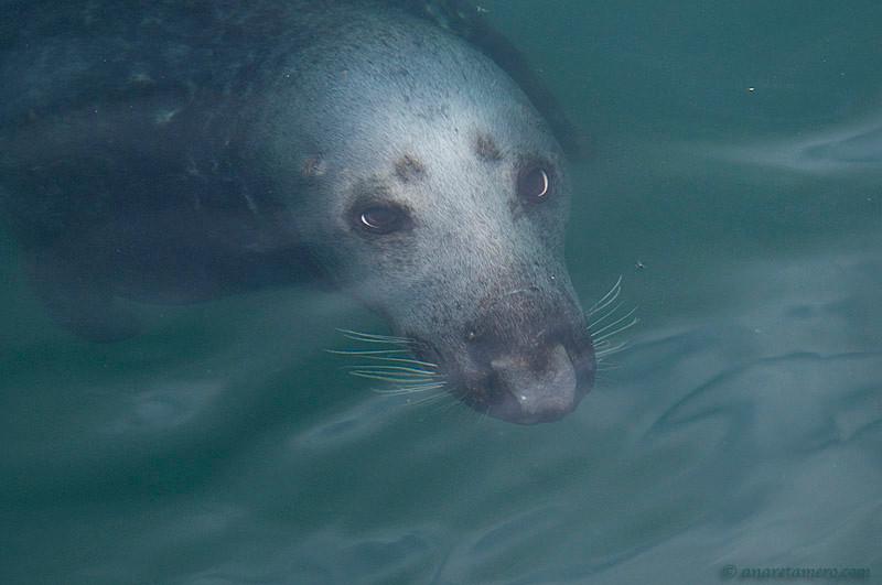 Foca gris bajo el agua (Halichoerus grypus)/ Grey seal
