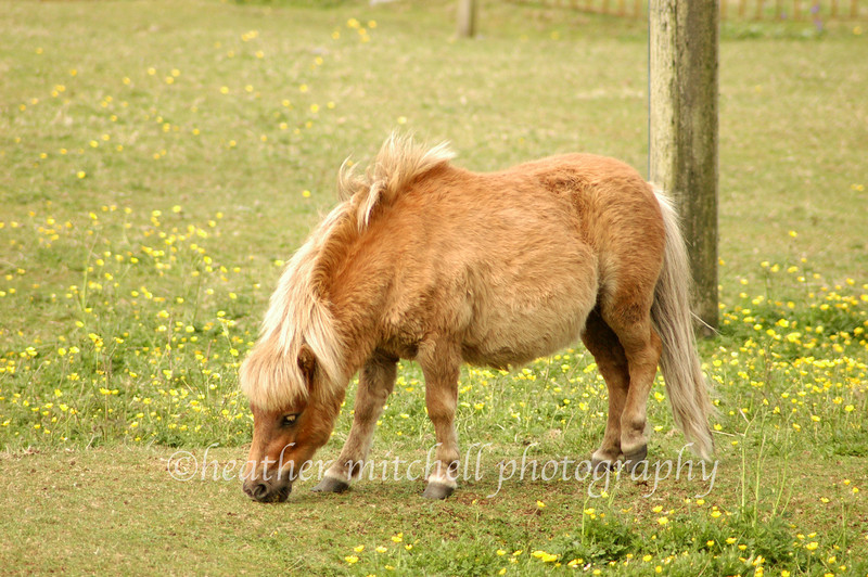 """Shetland Pony, Isle of Coll  <form target=""""paypal"""" action=""""https://www.paypal.com/cgi-bin/webscr"""" method=""""post""""> <input type=""""hidden"""" name=""""cmd"""" value=""""_s-xclick""""> <input type=""""hidden"""" name=""""hosted_button_id"""" value=""""2735305""""> <table> <tr><td><input type=""""hidden"""" name=""""on0"""" value=""""Sizes"""">Sizes</td></tr><tr><td><select name=""""os0""""> <option value=""""Matted 5x7"""">Matted 5x7 $20.00 <option value=""""Matted 8x10"""">Matted 8x10 $40.00 <option value=""""Matted 11x14"""">Matted 11x14 $50.00 </select> </td></tr> </table> <input type=""""hidden"""" name=""""currency_code"""" value=""""USD""""> <input type=""""image"""" src=""""https://www.paypal.com/en_US/i/btn/btn_cart_SM.gif"""" border=""""0"""" name=""""submit"""" alt=""""""""> <img alt="""""""" border=""""0"""" src=""""https://www.paypal.com/en_US/i/scr/pixel.gif"""" width=""""1"""" height=""""1""""> </form>"""