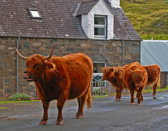 Highland Cattle out for an early morning stroll in Plockton.