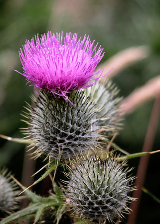 A Thistle, the national symbol of Scotland.