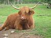 "Highland Cattle, or as I like to call them ""Furry Cows""!"