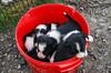 Border Collie Puppies in a Red Bucket, Leault Farm, Kincraig, Scotland, United Kingdom, Europe