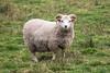 Sheep, Might be Soay Sheep, Highland & Rare Breeds Park, Fort Augustus, Scottish Highlands, Scotland, United Kingdom, Europe