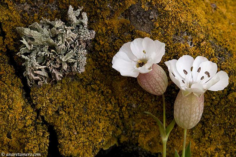 Silene uniflora en acantilado