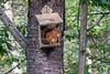 Red Squirrel, Sciurus vulgaris, Cairngorms National Park, Scotland, United Kingdom, Europe