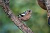 Chaffinch, Fringilla coelebs, Cairngorms National Park, Scotland, United Kingdom, Europe