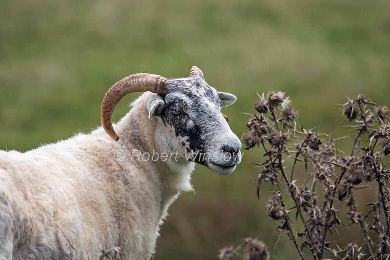 Scottish Black-faced Sheep, Scottish Highlands, Great Britain, Europe