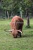 Scottish Highland Cattle, Highland & Rare Breeds Park, Fort Augustus,  Scottish Highlands, Scotland, United Kingdom, Europe