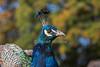 Peacock, Pavo cristatus, Blair Castle, Scotland, United Kingdom, Europe