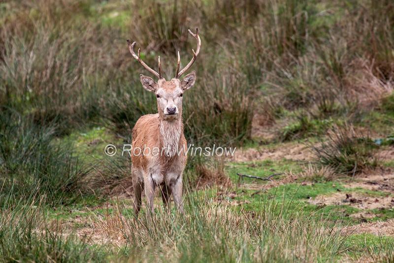 Red Deer, Cervus elaphus, Highland & Rare Breeds Park, Fort Augustus, Scottish Highlands, Scotland, United Kingdom, Europe
