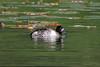 Tufted Duck, Aytha fuligula, Blair Atholl, Scotland, United Kingdom, Europe