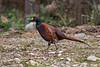 Pheasant, Phasianus colchicus, Scottish Highlands, Scotland, United Kingdom, Europe