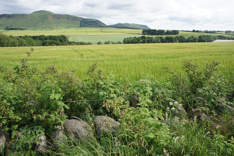 Barley close to Gatesfield, North of Edinburgh