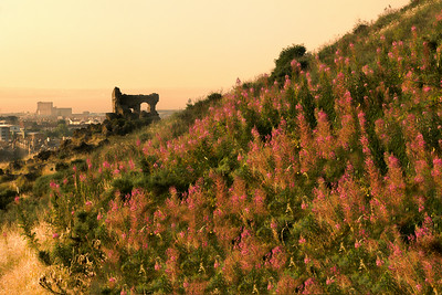 Beautiful Rosebay Willow Herbs show off their pink flowers in the setting sun. Ruins of an old cathedral in the background - on the way back down from Arthur's Seat