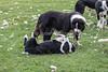 Dominance, submission, Sheepdog, Border Collie, Leault Farm, Kincraig, Scotland, United Kingdom, Europe