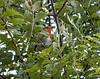 European Robin, Erithacus rubecula, Scottish Highlands, United Kingdom, Europe
