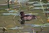 Female, Tufted Duck, Aytha fuligula, Blair Atholl, Scotland, United Kingdom, Europe