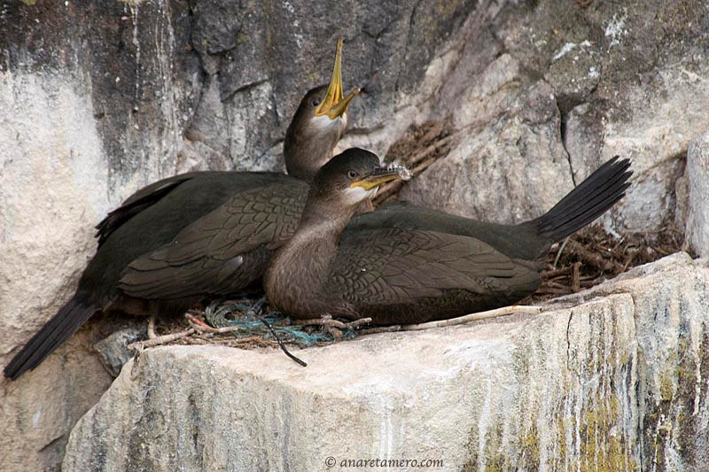 Nido de cormorán moñudo ( Phalacrocorax aristotelis)/ Shags in their nest