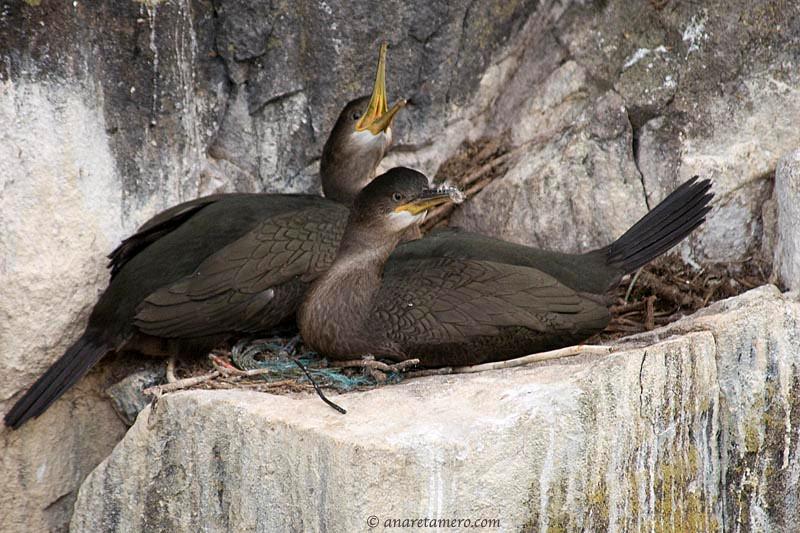 Nido de cormorán moñudo ( Phalacrocorax aristotelis)/ Shags in their nest