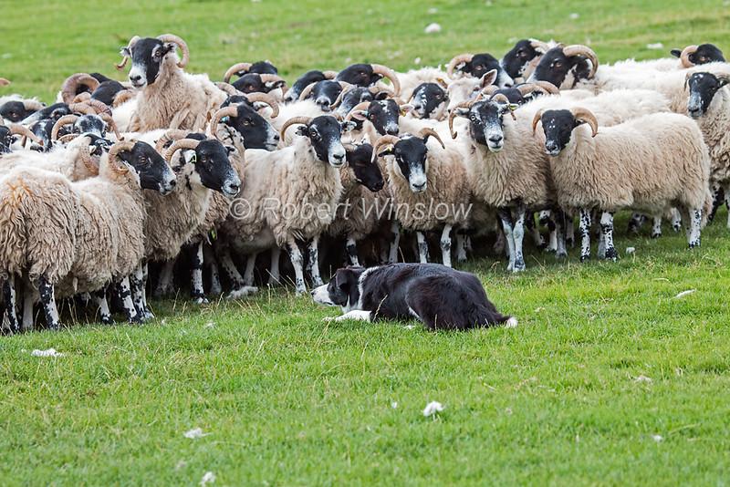 Sheep Border Collie Working Sheepdog Demonstrations At Leault Farm Kincraig Run By