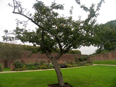 IMG_2200hampton court apple tree2