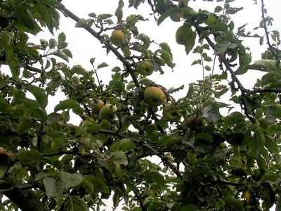 IMG_2201hampton court apples