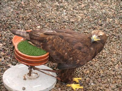 IMG_1684Golden Eagle