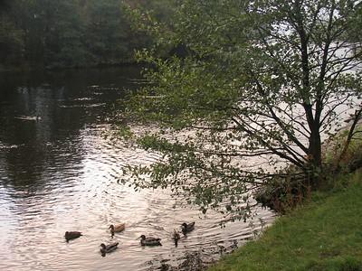 IMG_1672ducks on river leven