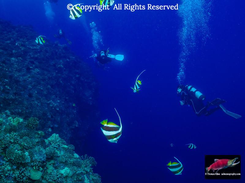 Scuba divers swim through Pennant Butterfyfish