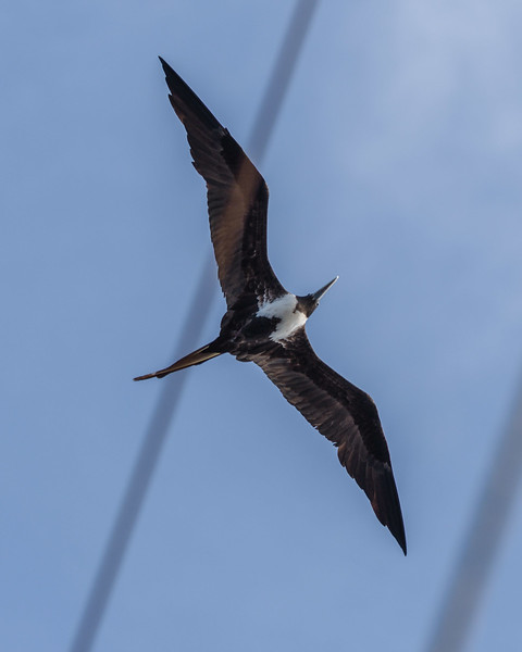 Frigate birds would hover, waiting to dive on the Boobies to steal their food.