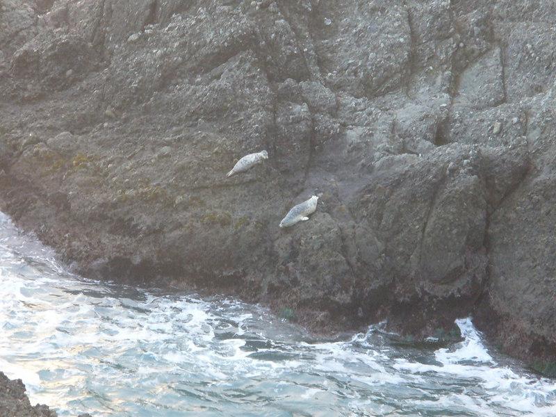 Seals (pups? sick?) at Sea Ranch CA