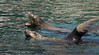 Sea lions bathing
