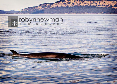 Minke Whale (they grow to be between 25-30 feet long)