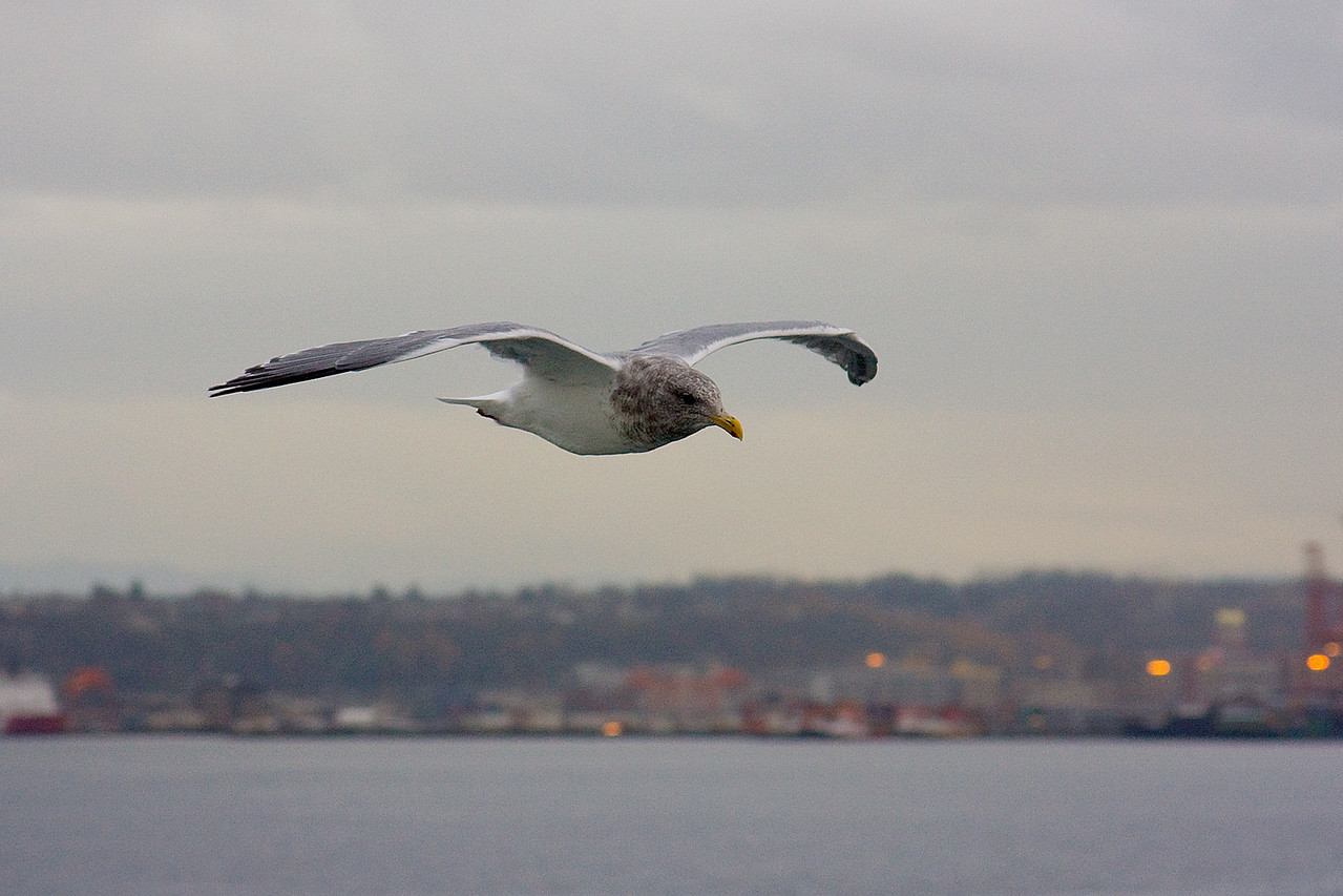 This seagull was flying right beside the ferry we took to Bainbridge island