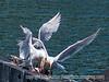 Food fight among gulls - Seattle