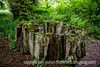 Moss-Covered Stump, Olympic National Park