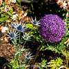 Allium and Erygium