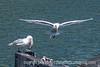 Gulls fighting over food